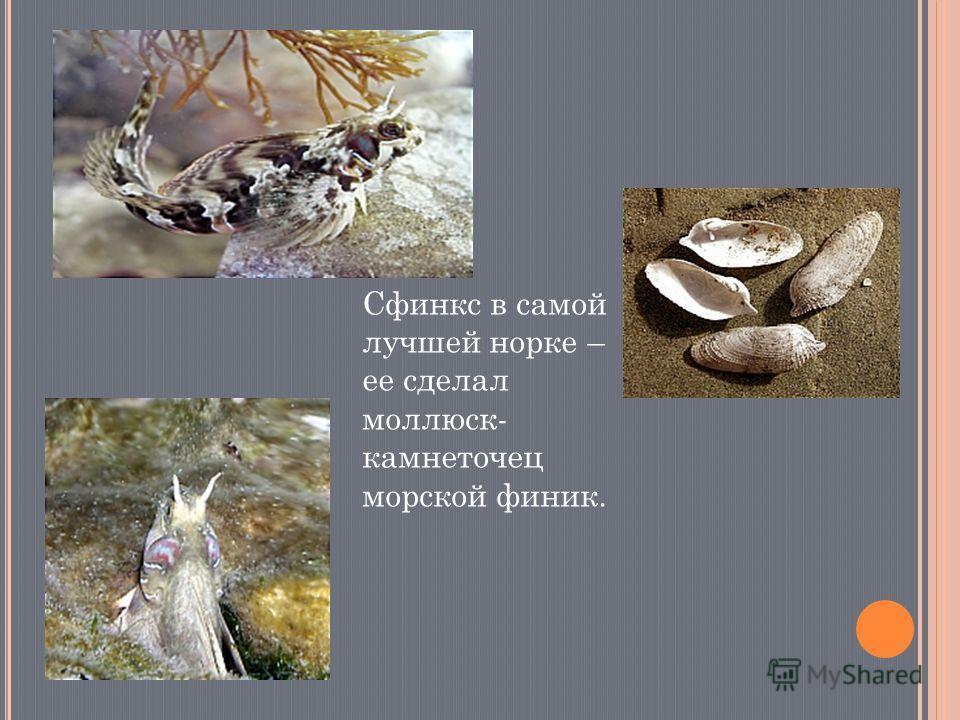 Сфинкс в самой лучшей норке – ее сделал моллюск- камнеточец морской финик.