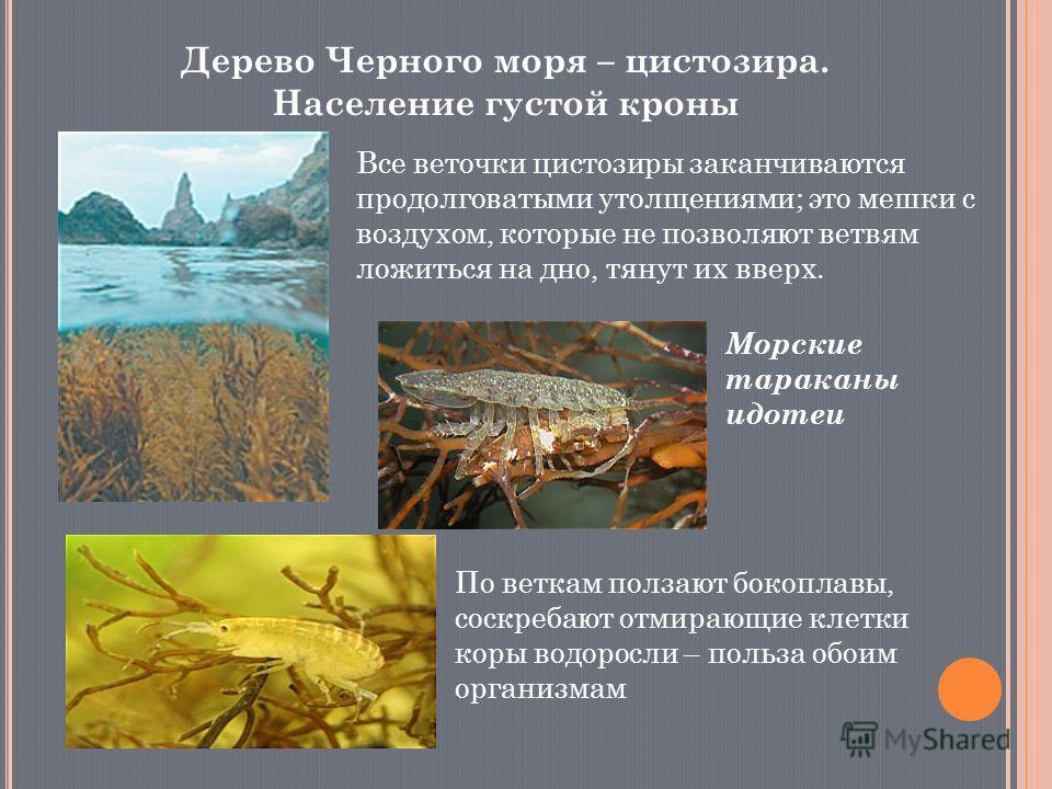 Дерево Черного моря – цистозира. Население густой кроны Все веточки цистозиры заканчиваются продолговатыми утолщениями; это мешки с воздухом, которые не позволяют ветвям ложиться на дно, тянут их вверх. Морские тараканы идотеи По веткам ползают бокоп