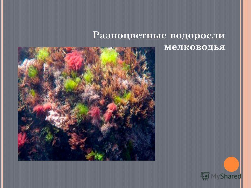 Разноцветные водоросли мелководья