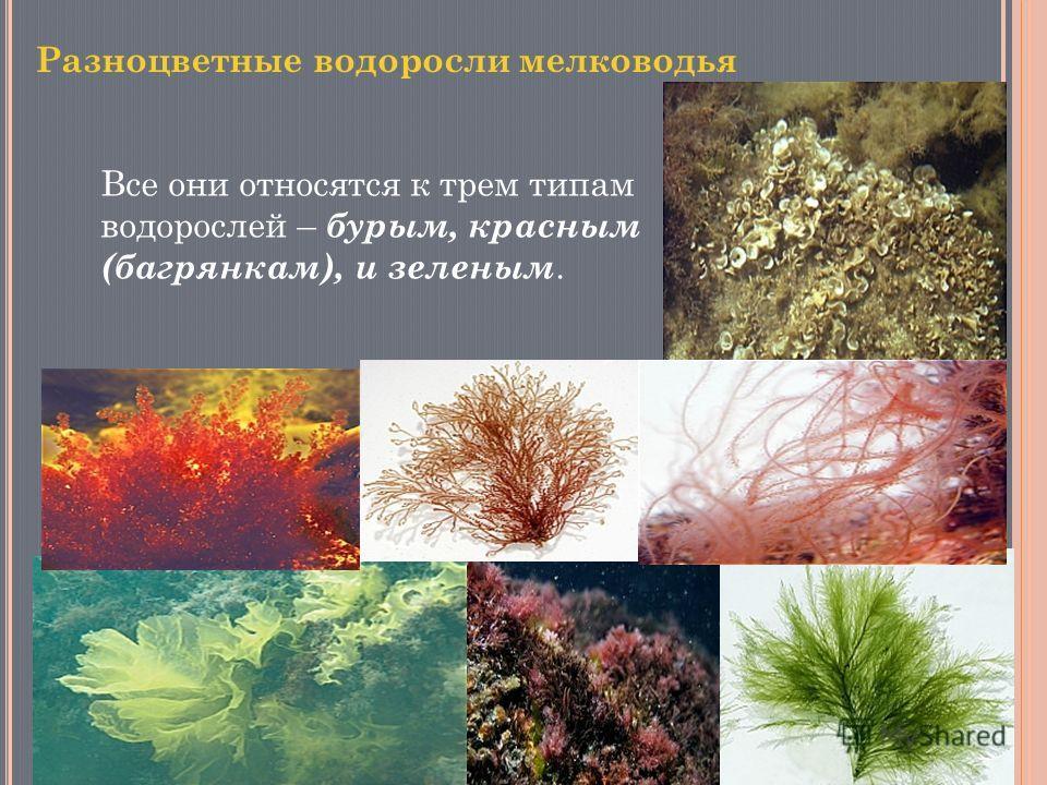 Все они относятся к трем типам водорослей – бурым, красным (багрянкам), и зеленым.