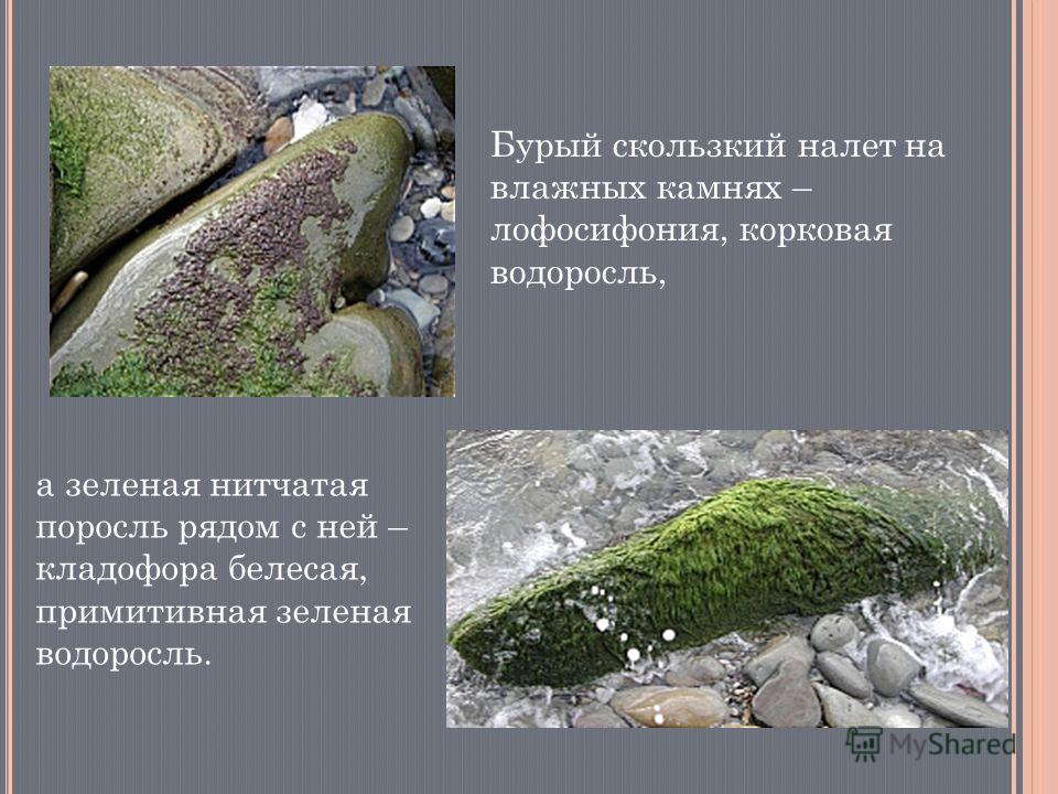 Бурый скользкий налет на влажных камнях – лофосифония, корковая водоросль, а зеленая нитчатая поросль рядом с ней – кладофора белесая, примитивная зеленая водоросль.
