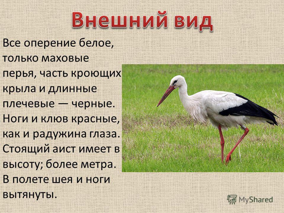 Все оперение белое, только маховые перья, часть кроющих крыла и длинные плечевые черные. Ноги и клюв красные, как и радужина глаза. Стоящий аист имеет в высоту; более метра. В полете шея и ноги вытянуты.