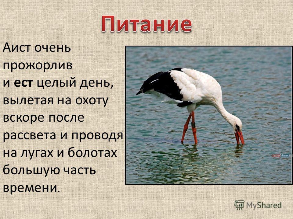 Аист очень прожорлив и ест целый день, вылетая на охоту вскоре после рассвета и проводя на лугах и болотах большую часть времени.