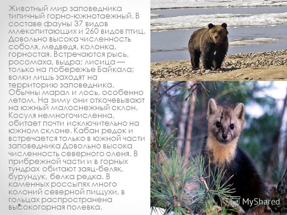 Животный мир заповедника типичный горно-южнотаежный. В составе фауны 37 видов млекопитающих и 260 видов птиц. Довольно высока численность соболя, медведя, колонка, горностая. Встречаются рысь, росомаха, выдра; лисица только на побережье Байкала; волк