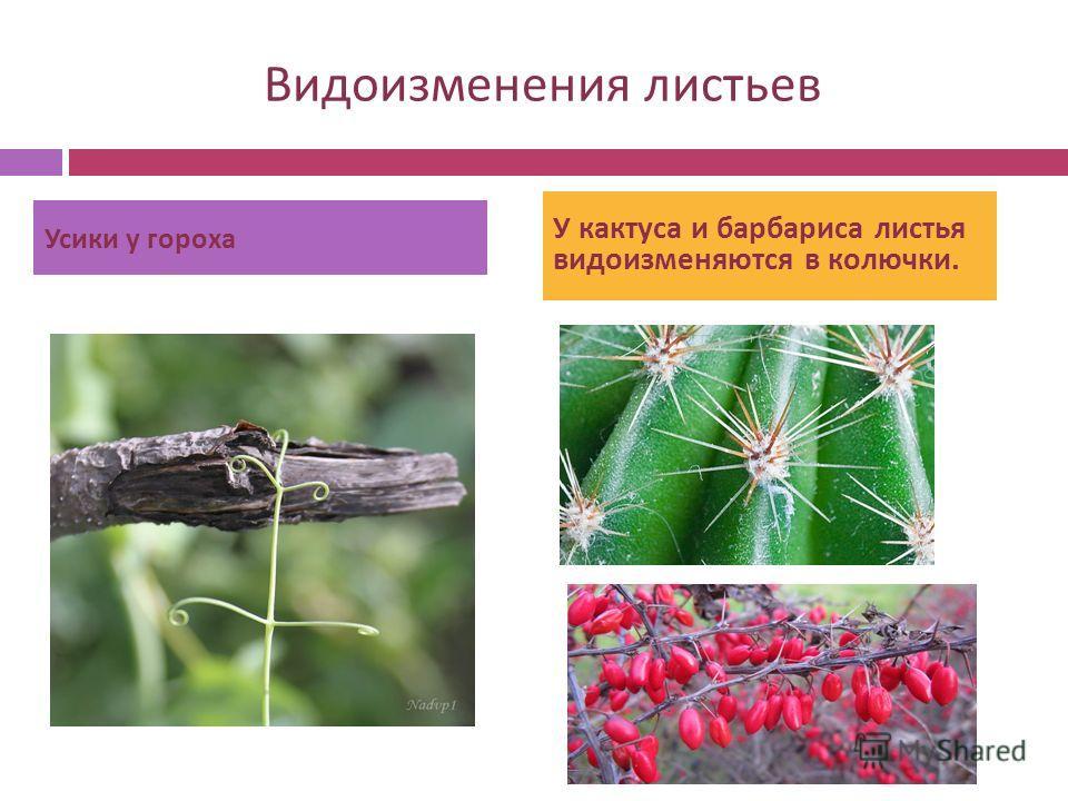 Видоизменения листьев Усики у гороха У кактуса и барбариса листья видоизменяются в колючки.