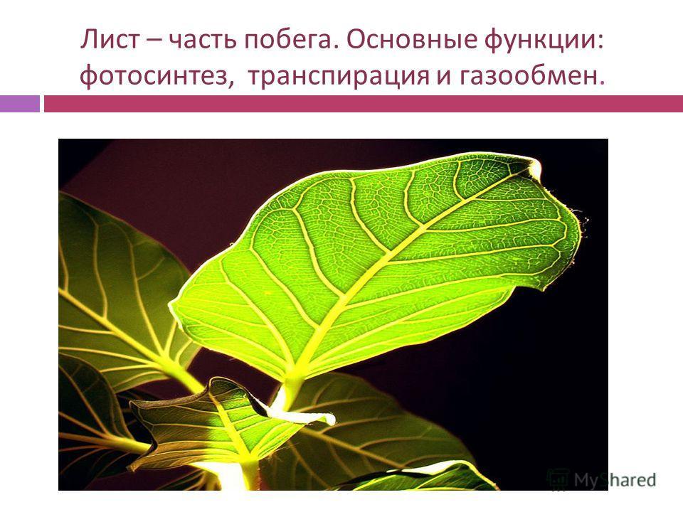 Лист – часть побега. Основные функции : фотосинтез, транспирация и газообмен.