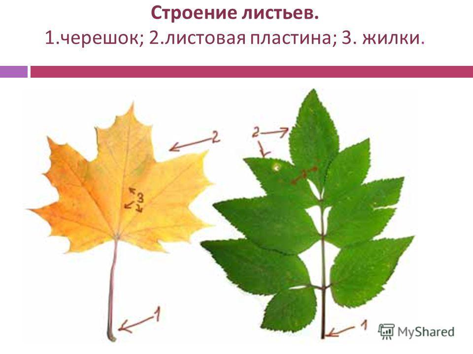 Строение листьев. 1. черешок ; 2. листовая пластина ; 3. жилки.