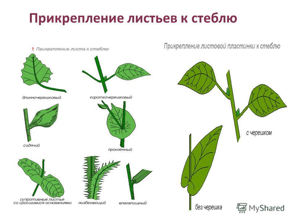 Прикрепление листьев к стеблю