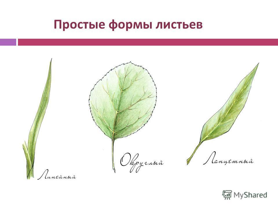 Простые формы листьев