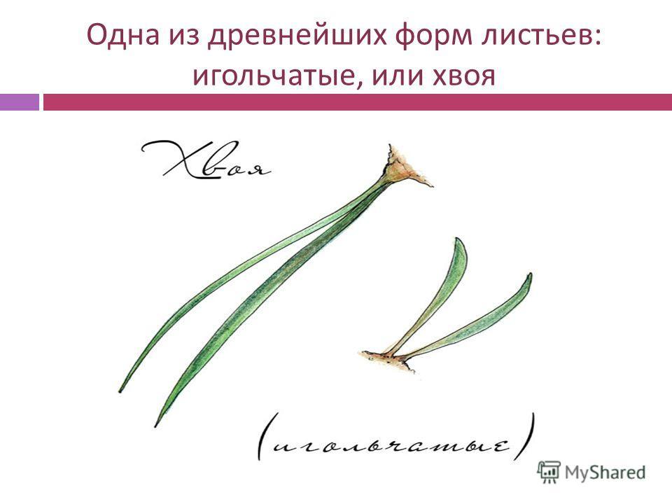 Одна из древнейших форм листьев : игольчатые, или хвоя