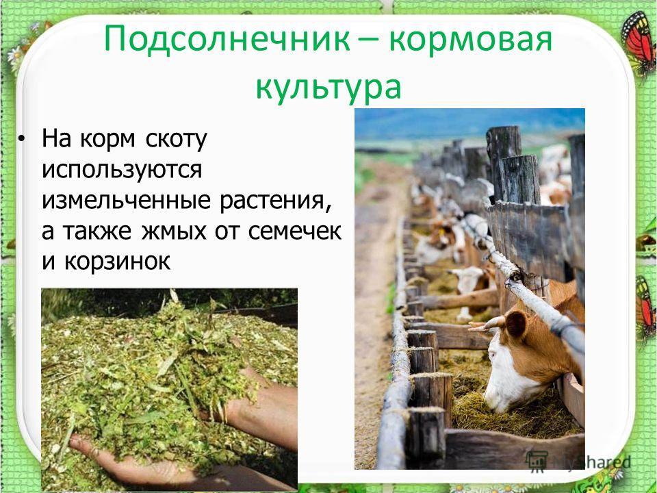 Подсолнечник – кормовая культура 20.12.201312 На корм скоту используются измельченные растения, а также жмых от семечек и корзинок
