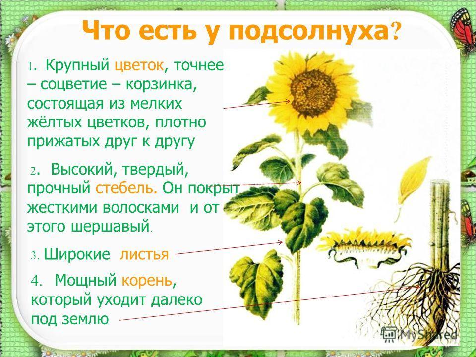 4 Что есть у подсолнуха ? 1. Крупный цветок, точнее – соцветие – корзинка, состоящая из мелких жёлтых цветков, плотно прижатых друг к другу 2. Высокий, твердый, прочный стебель. Он покрыт жесткими волосками и от этого шершавый. 3. Широкие листья 4. М
