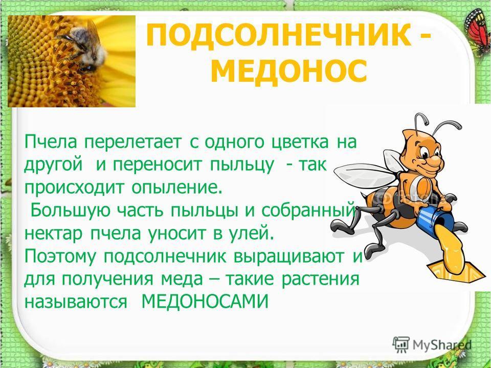 ПОДСОЛНЕЧНИК - МЕДОНОС 7 Пчела перелетает с одного цветка на другой и переносит пыльцу - так происходит опыление. Большую часть пыльцы и собранный нектар пчела уносит в улей. Поэтому подсолнечник выращивают и для получения меда – такие растения назыв