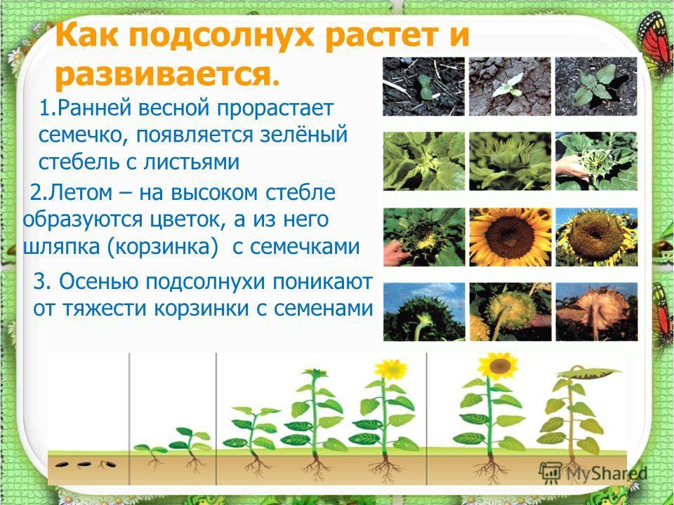 Как подсолнух растет и развивается. 9 1.Ранней весной прорастает семечко, появляется зелёный стебель с листьями 2.Летом – на высоком стебле образуются цветок, а из него шляпка (корзинка) с семечками 3. Осенью подсолнухи поникают от тяжести корзинки с