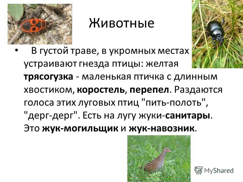 Животные В густой траве, в укромных местах устраивают гнезда птицы: желтая трясогузка - маленькая птичка с длинным хвостиком, коростель, перепел. Раздаются голоса этих луговых птиц