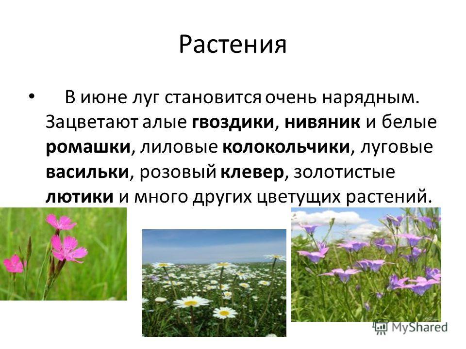 Растения В июне луг становится очень нарядным. Зацветают алые гвоздики, нивяник и белые ромашки, лиловые колокольчики, луговые васильки, розовый клевер, золотистые лютики и много других цветущих растений.
