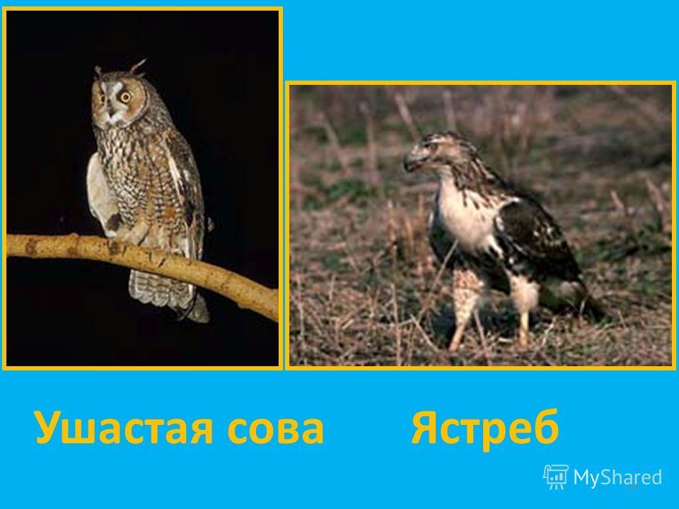 22 ЯстребУшастая сова