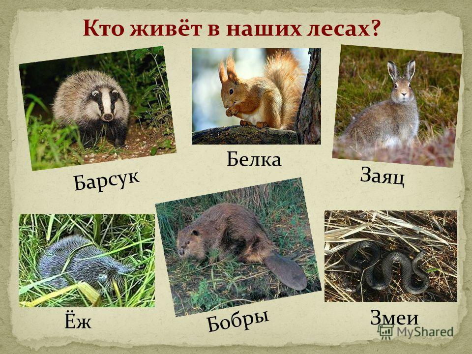 Кто живёт в наших лесах? Барсук Белка Ёж Бобры Заяц Змеи