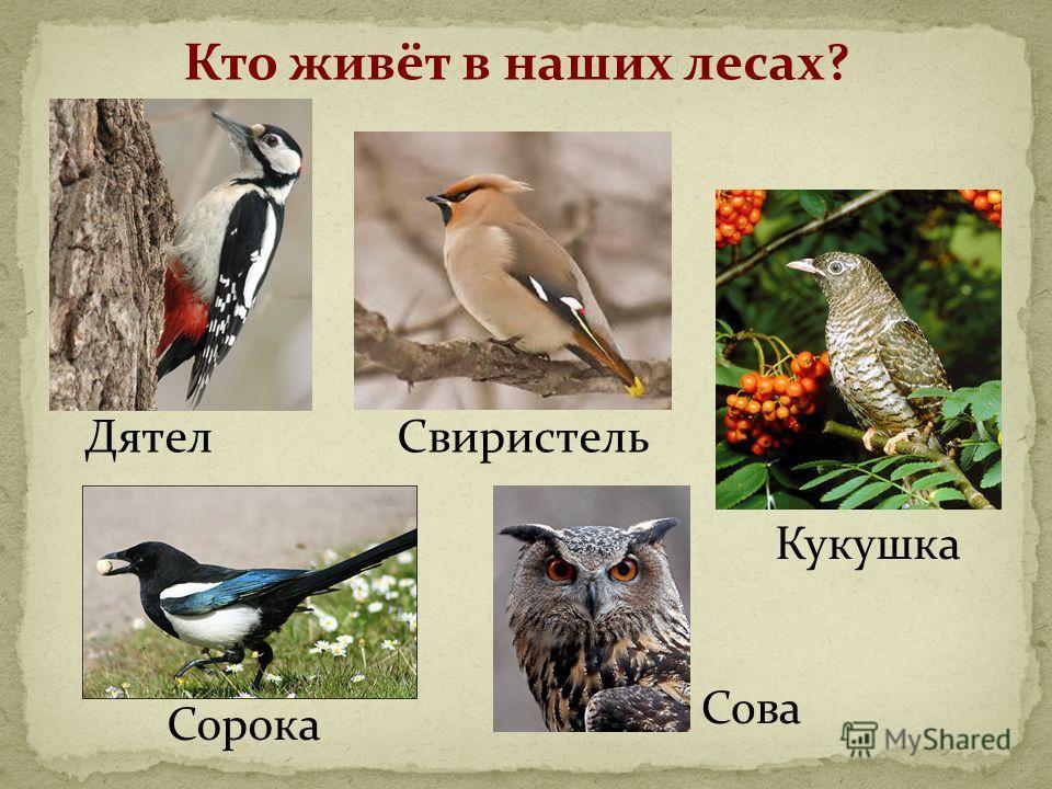 Кто живёт в наших лесах? Кукушка Сорока ДятелСвиристель Сова