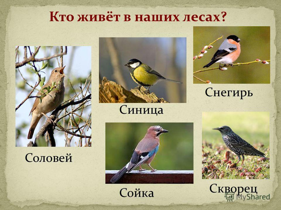 Кто живёт в наших лесах? Соловей Синица Снегирь Сойка Скворец
