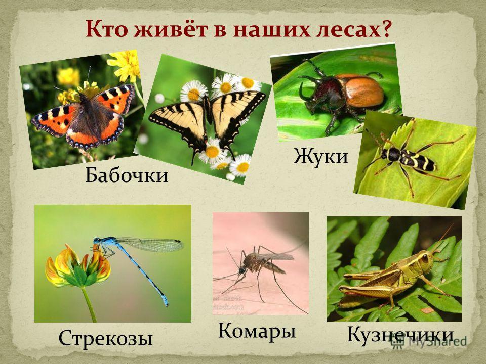 Кто живёт в наших лесах? Бабочки Жуки Стрекозы Комары Кузнечики