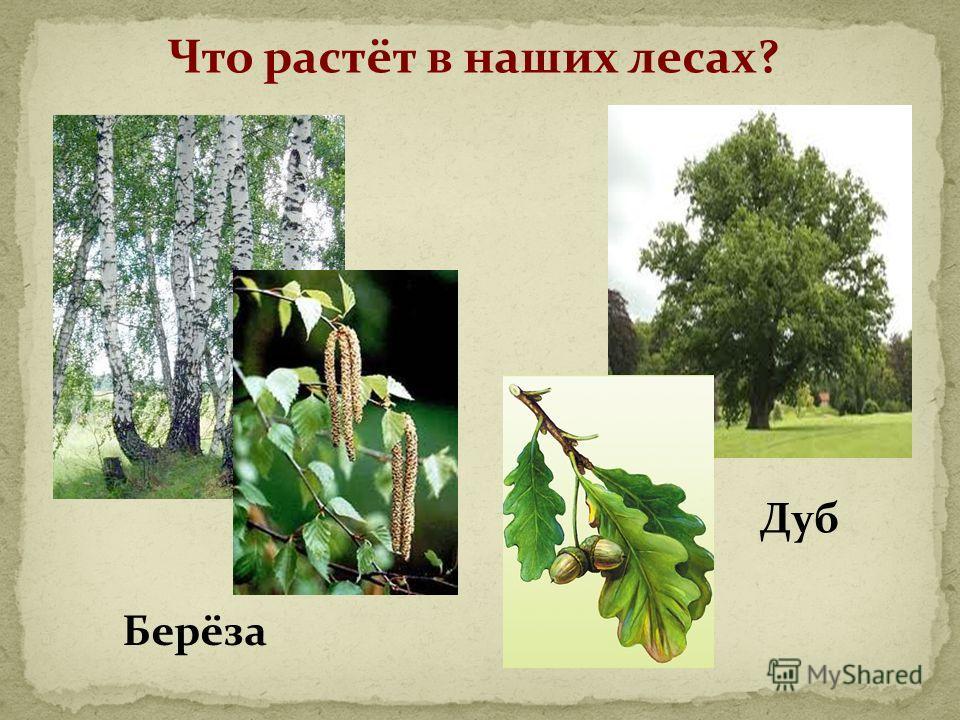 Что растёт в наших лесах? Берёза Дуб