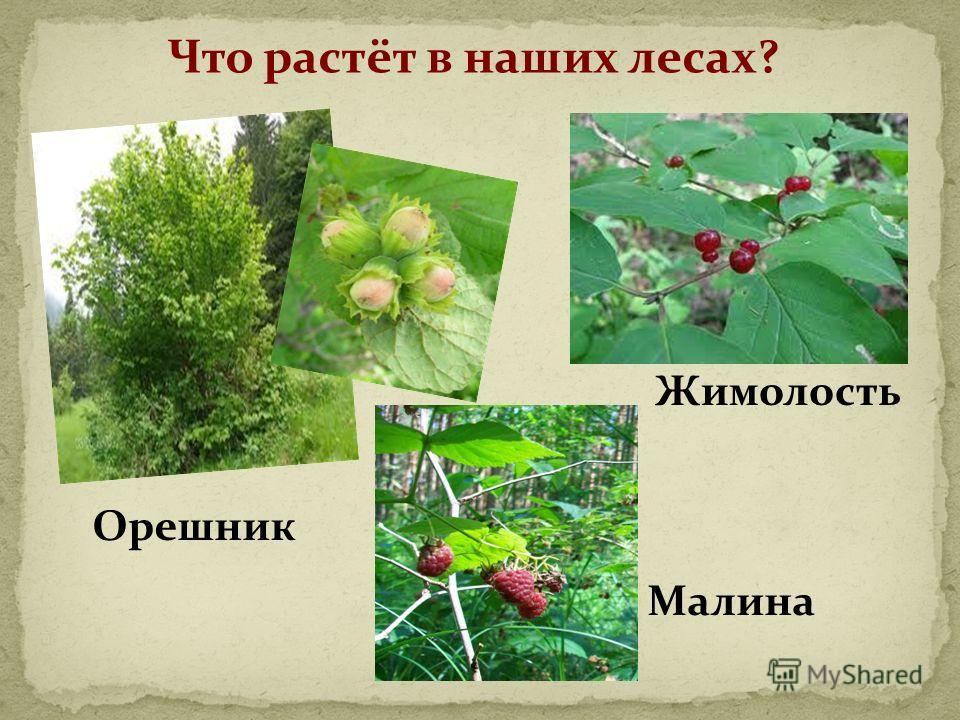 Что растёт в наших лесах? Орешник Малина Жимолость