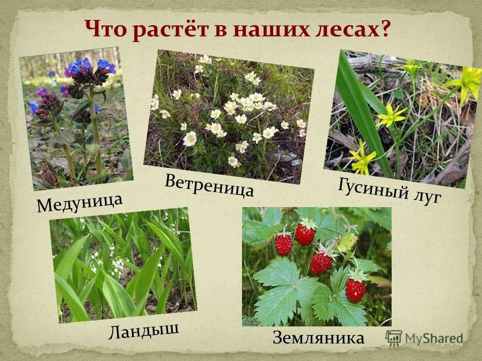 Что растёт в наших лесах? Медуница Ветреница Земляника Гусиный луг Ландыш