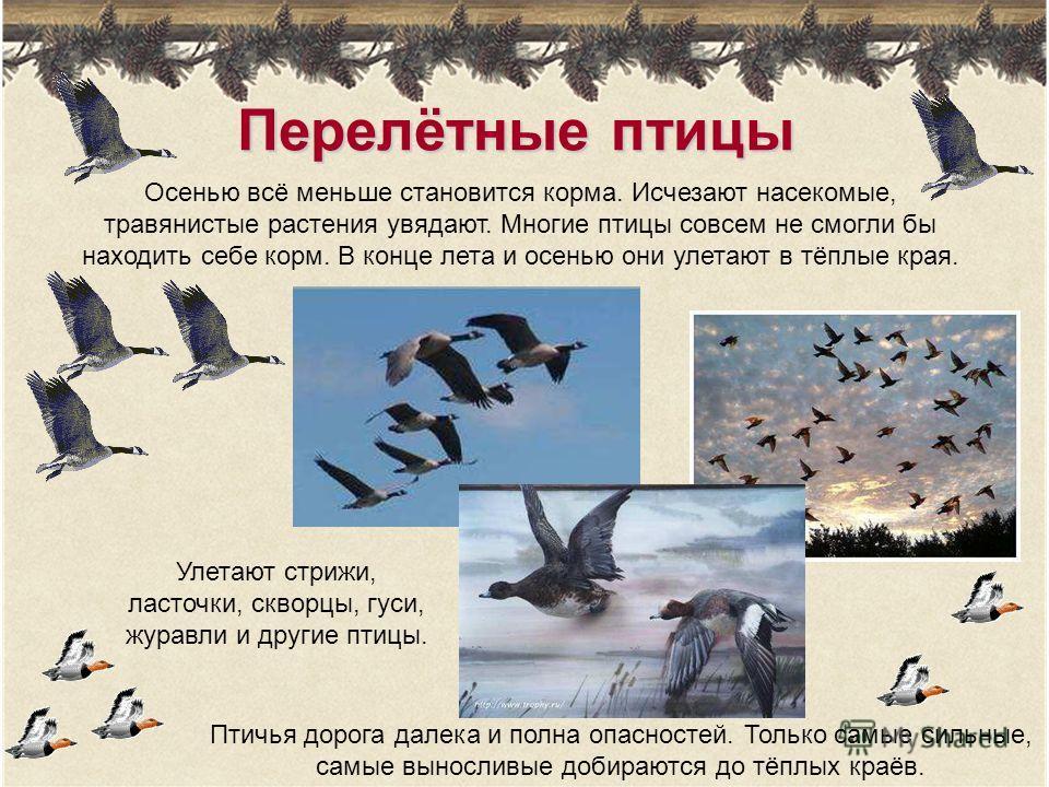 Перелётные птицы Осенью всё меньше становится корма. Исчезают насекомые, травянистые растения увядают. Многие птицы совсем не смогли бы находить себе корм. В конце лета и осенью они улетают в тёплые края. Птичья дорога далека и полна опасностей. Толь