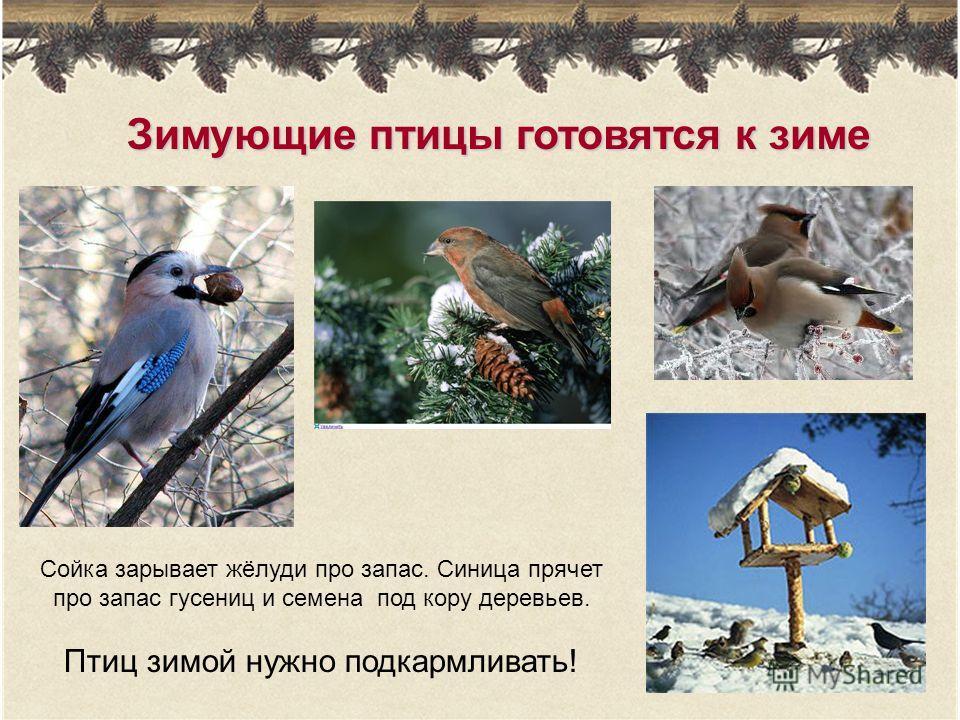 Зимующие птицы готовятся к зиме Сойка зарывает жёлуди про запас. Синица прячет про запас гусениц и семена под кору деревьев. Птиц зимой нужно подкармливать!