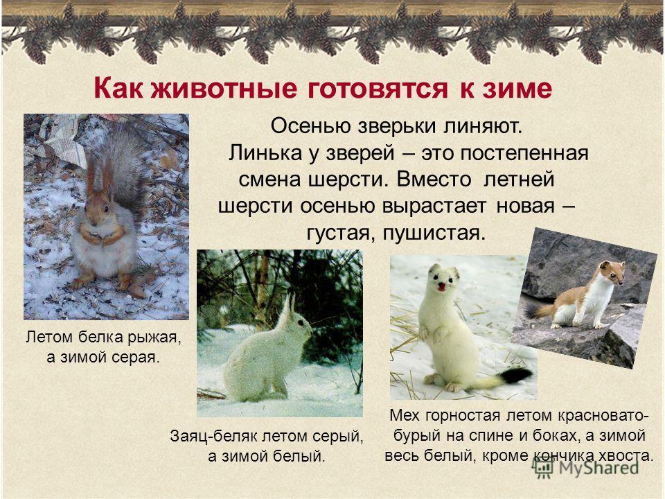 Как животные готовятся к зиме Осенью зверьки линяют. Линька у зверей – это постепенная смена шерсти. Вместо летней шерсти осенью вырастает новая – густая, пушистая. Заяц-беляк летом серый, а зимой белый. Летом белка рыжая, а зимой серая. Мех горноста