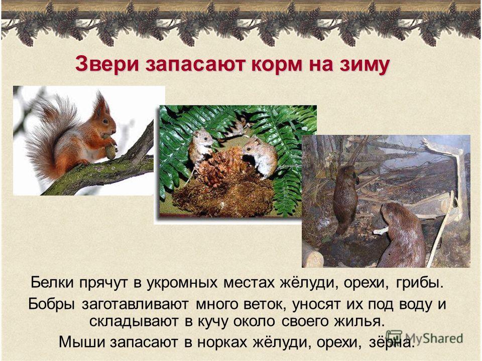 Звери запасают корм на зиму Белки прячут в укромных местах жёлуди, орехи, грибы. Бобры заготавливают много веток, уносят их под воду и складывают в кучу около своего жилья. Мыши запасают в норках жёлуди, орехи, зёрна.