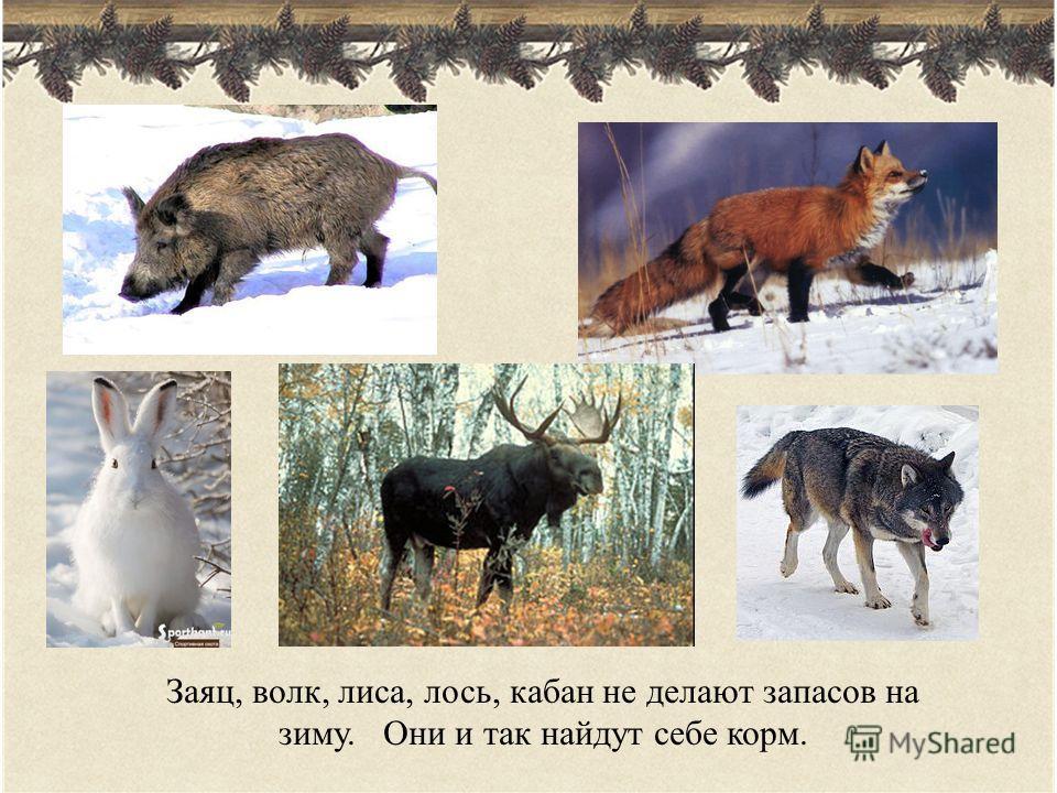 Заяц, волк, лиса, лось, кабан не делают запасов на зиму. Они и так найдут себе корм.