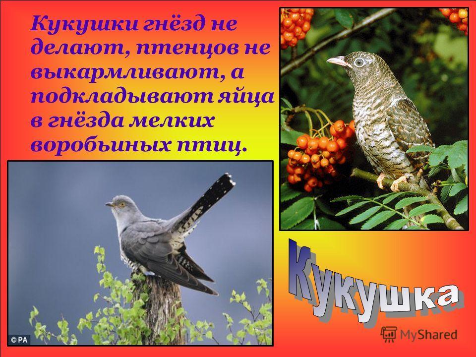 Кукушки гнёзд не делают, птенцов не выкармливают, а подкладывают яйца в гнёзда мелких воробьиных птиц.
