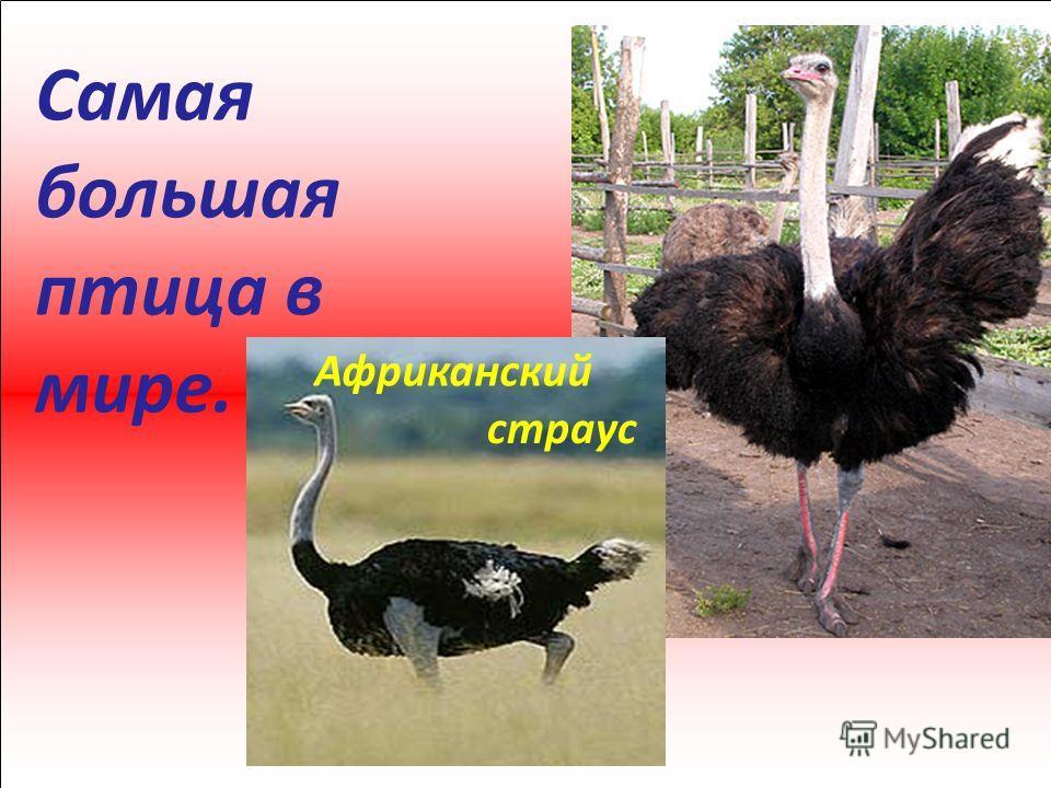 Самая большая птица в мире. Африканский страус
