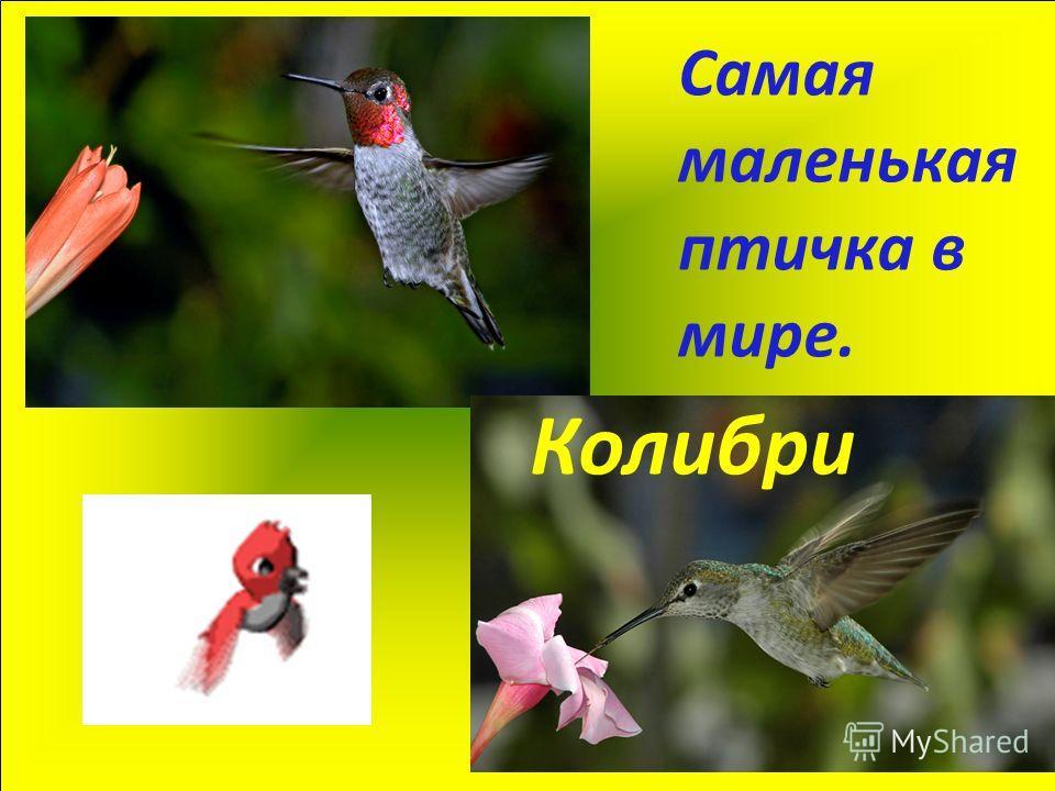 Самая маленькая птичка в мире. Колибри