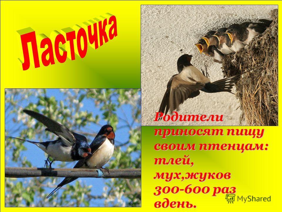 Родители приносят пищу своим птенцам: тлей, мух,жуков 300-600 раз вдень.