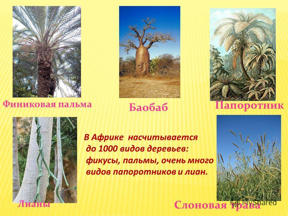 Финиковая пальма Лианы Баобаб Папоротник Слоновая трава В Африке насчитывается до 1000 видов деревьев: фикусы, пальмы, очень много видов папоротников и лиан.