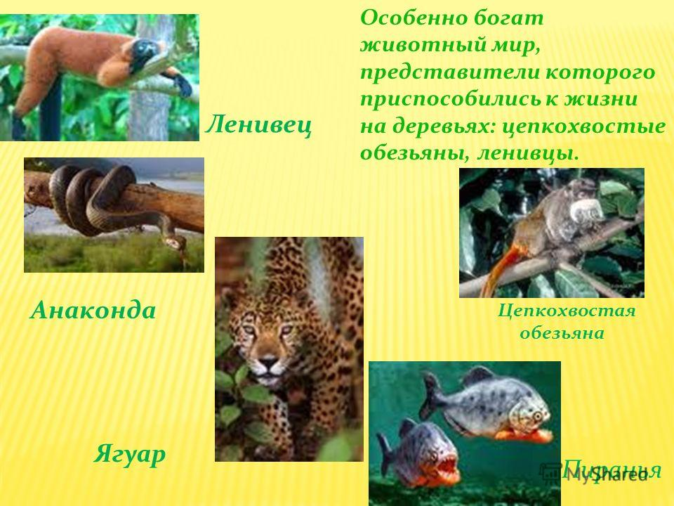 Цепкохвостая обезьяна Пиранья Анаконда Ленивец Особенно богат животный мир, представители которого приспособились к жизни на деревьях: цепкохвостые обезьяны, ленивцы. Ягуар