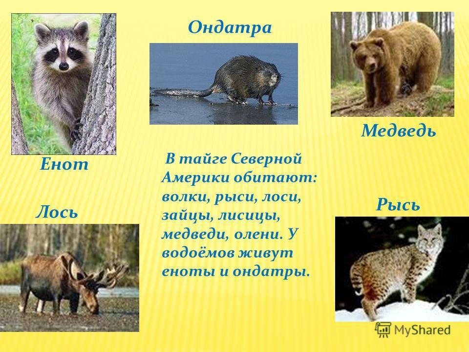 Енот Лось Ондатра Медведь Рысь В тайге Северной Америки обитают: волки, рыси, лоси, зайцы, лисицы, медведи, олени. У водоёмов живут еноты и ондатры.