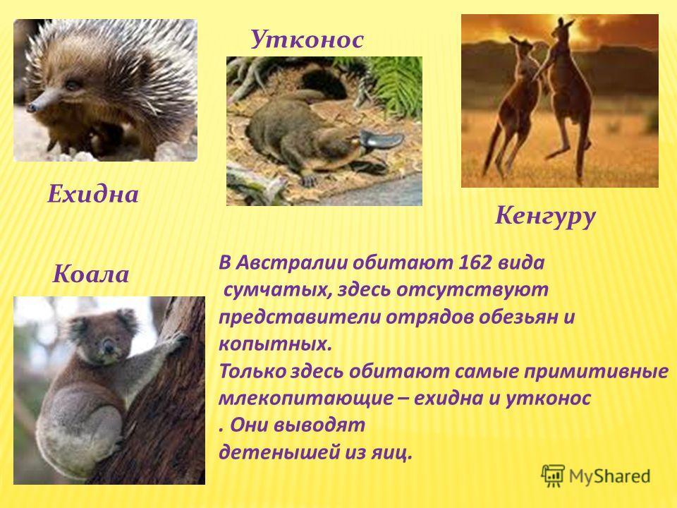 Ехидна Кенгуру Коала Утконос В Австралии обитают 162 вида сумчатых, здесь отсутствуют представители отрядов обезьян и копытных. Только здесь обитают самые примитивные млекопитающие – ехидна и утконос. Они выводят детенышей из яиц.