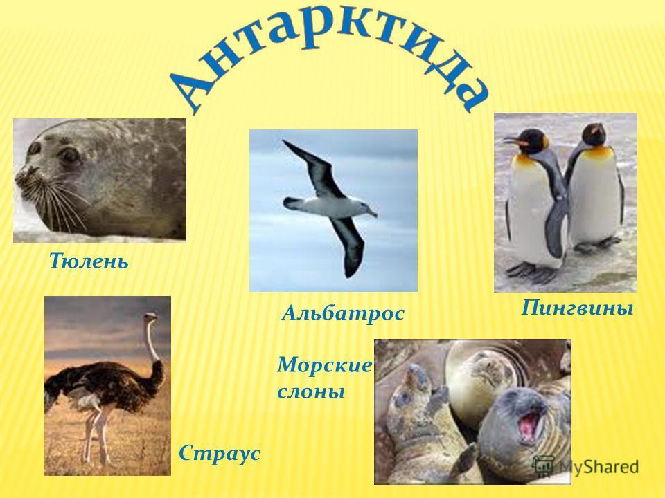 Тюлень Альбатрос Пингвины Страус Морские слоны