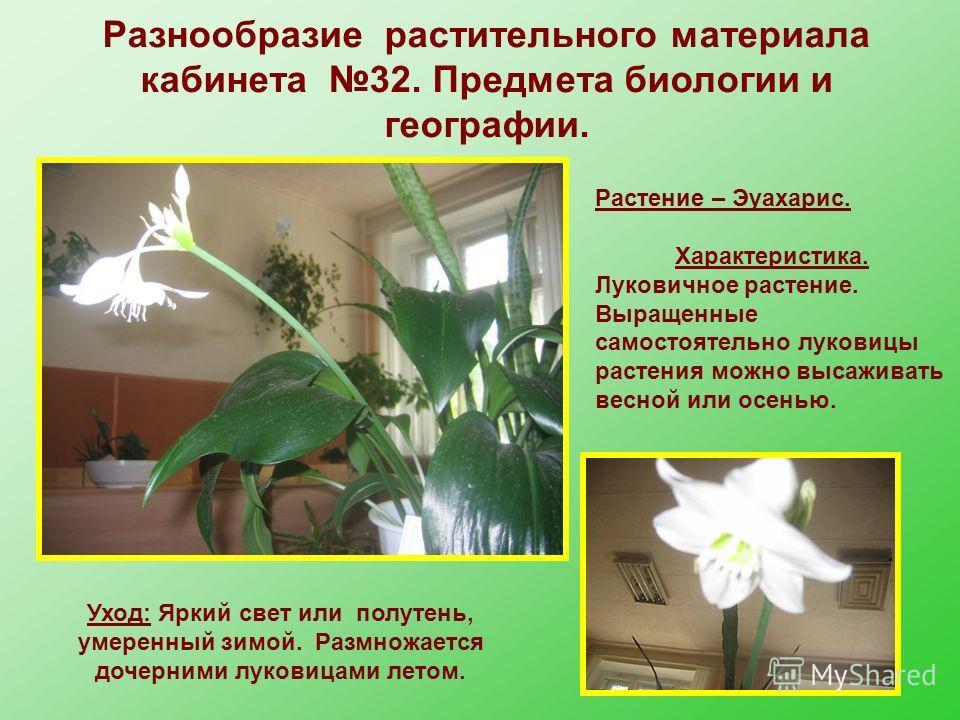 Растение – Эуахарис. Характеристика. Луковичное растение. Выращенные самостоятельно луковицы растения можно высаживать весной или осенью. Уход: Яркий свет или полутень, умеренный зимой. Размножается дочерними луковицами летом. Разнообразие растительн