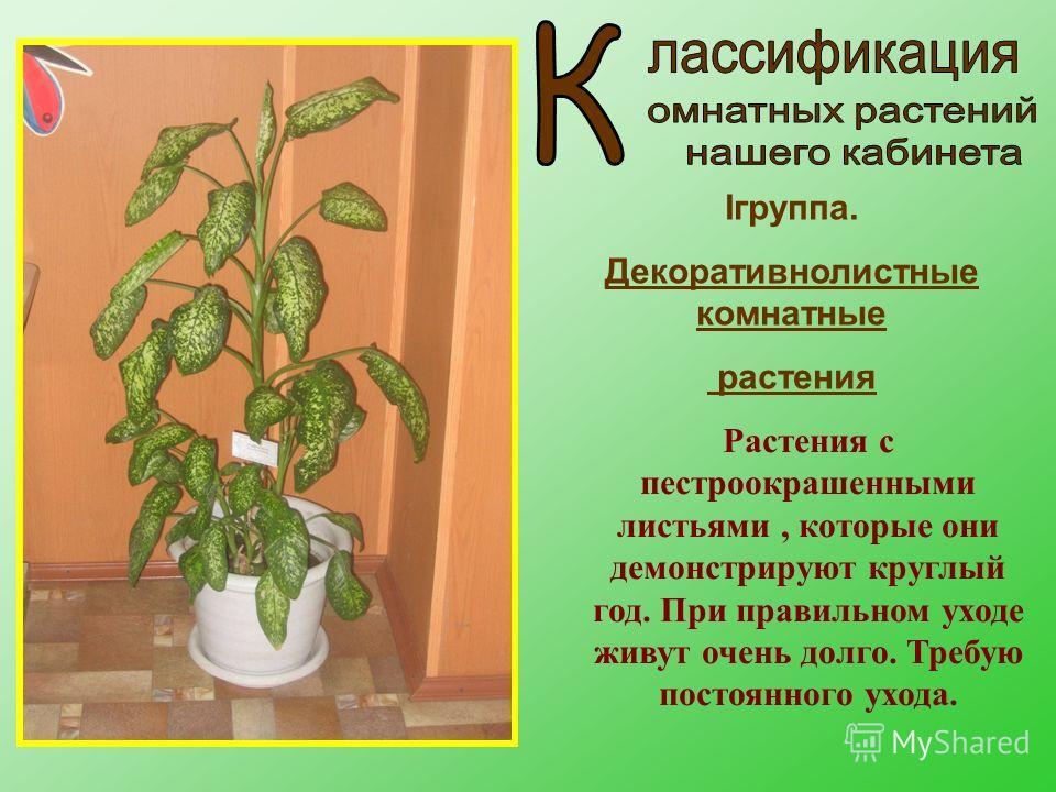 Iгруппа. Декоративнолистные комнатные растения Растения с пестроокрашенными листьями, которые они демонстрируют круглый год. При правильном уходе живут очень долго. Требую постоянного ухода.