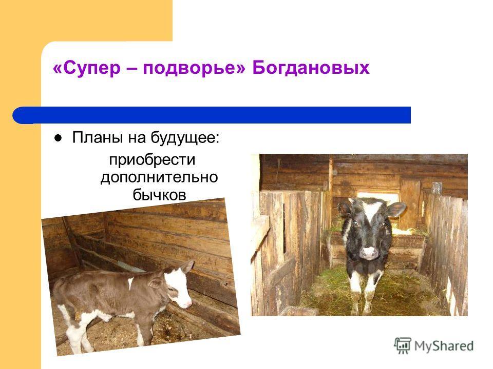 «Супер – подворье» Богдановых Планы на будущее: приобрести дополнительно бычков