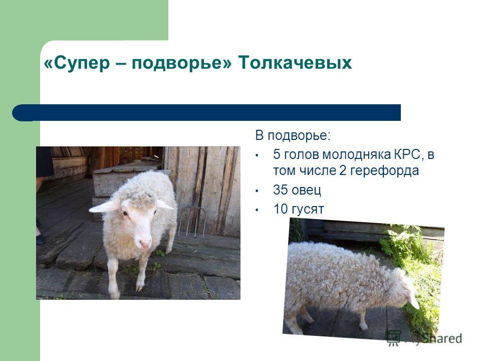 «Супер – подворье» Толкачевых В подворье: 5 голов молодняка КРС, в том числе 2 герефорда 35 овец 10 гусят