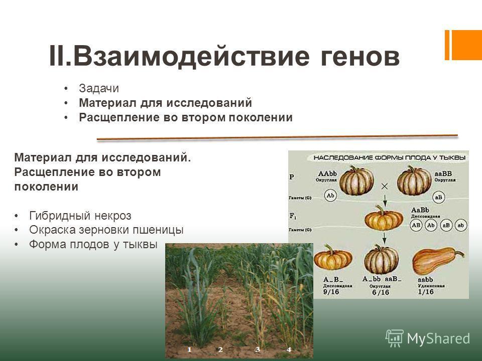 II.Взаимодействие генов Задачи Материал для исследований Расщепление во втором поколении Материал для исследований. Расщепление во втором поколении Гибридный некроз Окраска зерновки пшеницы Форма плодов у тыквы
