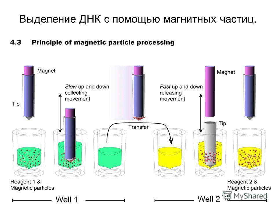 Выделение ДНК с помощью магнитных частиц.