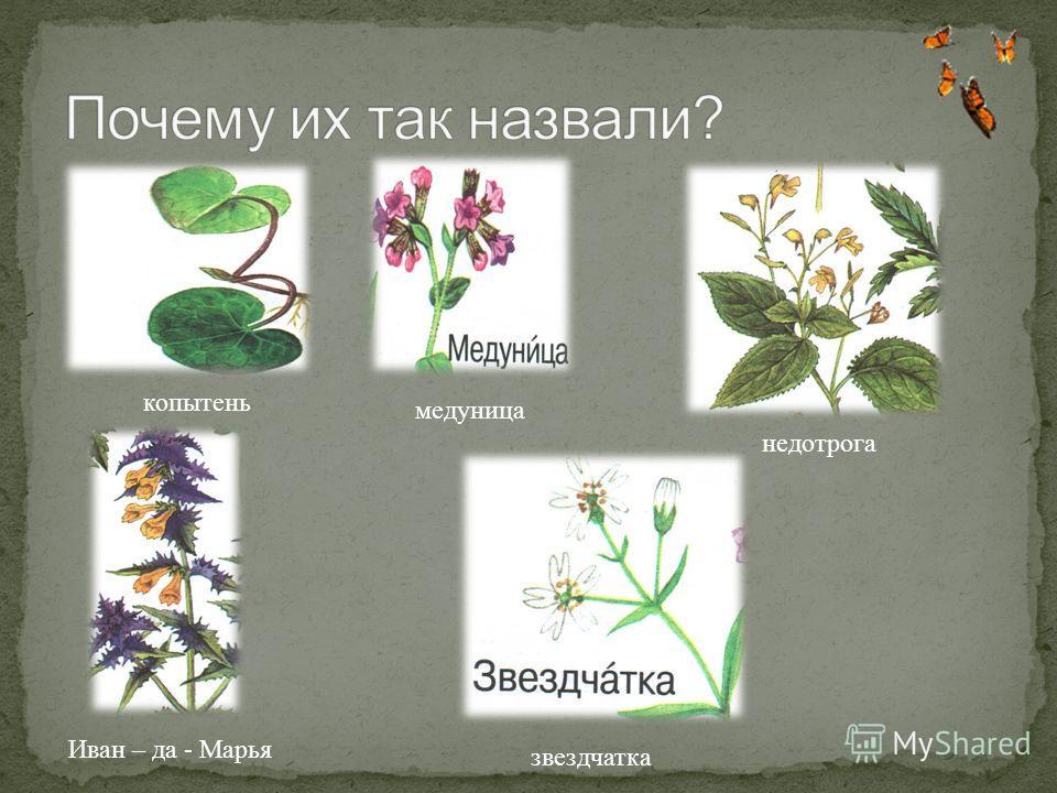 копытень медуница недотрога Иван – да - Марья звездчатка
