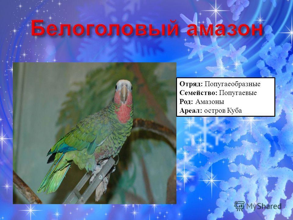 Отряд: Попугаеобразные Семейство: Попугаевые Род: Амазоны Ареал: остров Куба